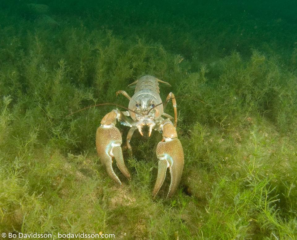 BD-080903-Nydalen-9031767-Pacifastacus-leniusculus-(Dana.-1852)-[Signal-crayfish.-Signalkräfta].jpg